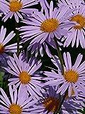 Symphyotrichum novae-angliae | New England Hardy Aster | 100_Seeds