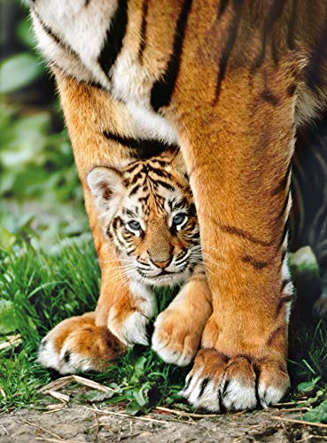 Bengal Tiger Cub Between Its Mother's Legs, Animals Jigsaw Puzzle, Collection, 500 Pieces (Cub Tiger Bengal)