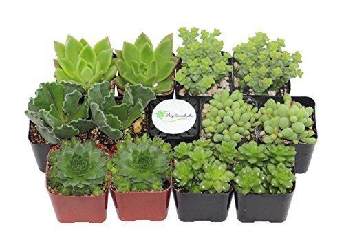 Shop Succulents Green Succulent (Collection of 12) by Shop Succulents (Image #1)