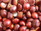 10 Chestnut seeds Delicious nut seeds bonsai plant DIY home garden tree