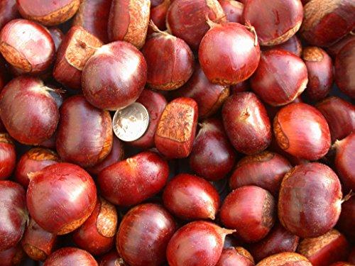10 Chestnut seeds Delicious nut seeds bonsai plant DIY home garden tree by Chestnut