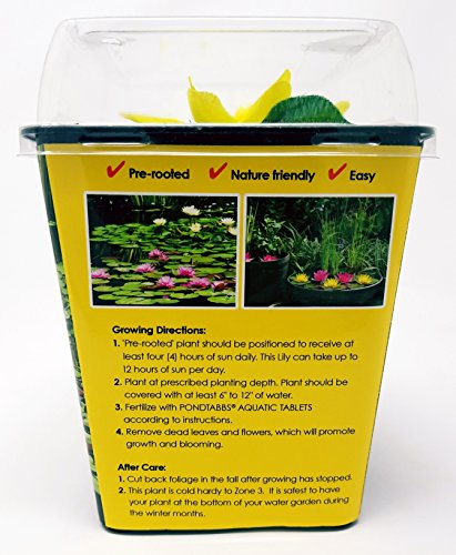 Live Aquatic Hardy Water Lily | Pre-Grown, Pre-Rooted, Hardy Water Lily for Your Pond or Patio Water Garden | Drop-N-Grow Convenience -Yellow (Nymphaea 'Yellow Sensation') by Chalily (Image #3)