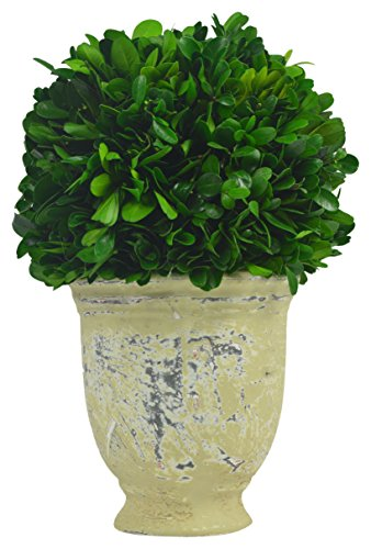 Galt International Ball Topiary Plant with Terracotta Pot, 10-Inches Naturally Preserved Real Boxwood by Galt International