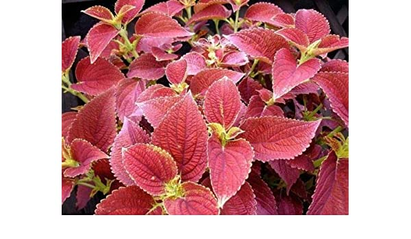 Wizard Sunset Coleus Seeds 40 seeds Fresh Seed  FREE SHIPPING Flower Seed