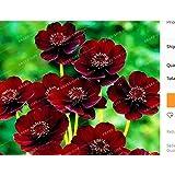 New Rare Chocolate Cosmos Flower 100+ Seeds - Cosmos atrosanguineus