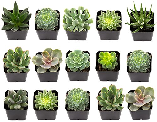 "NW Wholesaler - Set of 15 Exotic 2.25"" Live Succulent Plants"