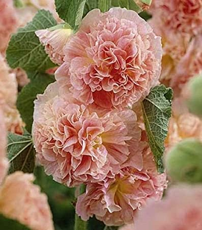 PERENNIAL PINK GIANT DANISH DOUBLE HOLLYHOCK  FLOWER SEEDS 30