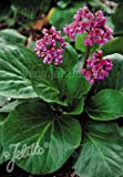 Details About Bergenia crassifolia 500 Seeds