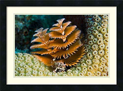 Framed Wall Art Print Christmas Tree Worm Filter Feeding While Attached to Great Star Coral, Bonaire, Netherlands Antilles by Pete Oxford 26.00 x 19.25 (Pete Netherlands Christmas Black)