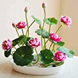 kaimus 10pcs Mini Lutus Seeds Flowers Seeds Bowl lotus water flower bonsai