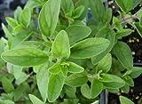 Italian Oregano - Culinary Herb - Live Plant