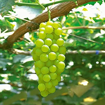 Amazon | 葡萄(ぶどう)苗木 ヒムロット(種なしブドウ) | 果物
