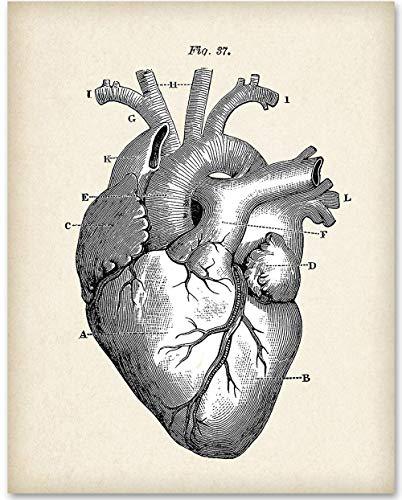 Anatomical Heart - 11x14 Unframed Art Print - Great Gift for Doctors, Medical/Nursing Students or ()