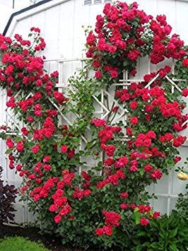 Red Climbing Rose Bush (1 Plant) Border, Cut Flowers,Ornamental, Outdoor, Vines