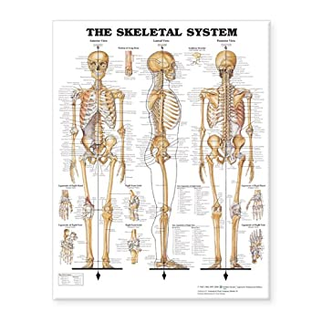The Skeletal System Giant Chart: Anatomical Chart Company: Amazon ...