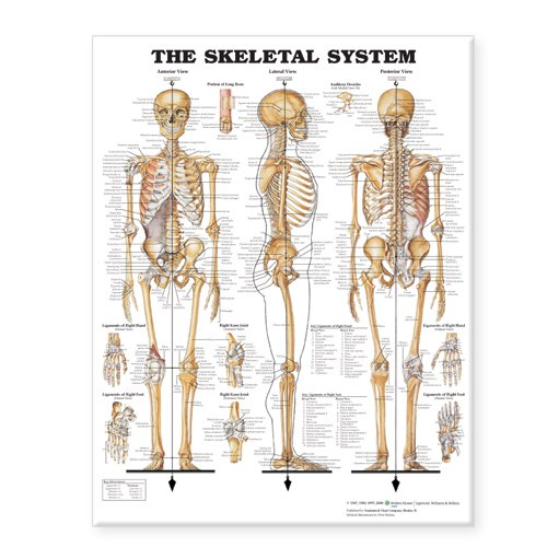 - The Skeletal System Giant Chart