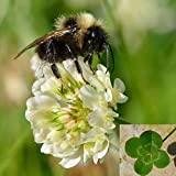 trebol 10,000 Seeds White Clover Trifolium repens Green Fertilization Seeds