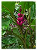 10 Seeds Musa Velutina Seeds (Pink Velvet Banana Seeds) Indoor Air Purification House Plant