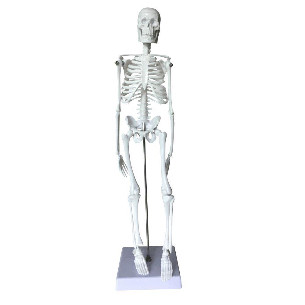 Skeleton Set Model Oif Human Skeleton Set Anatomical Scientific