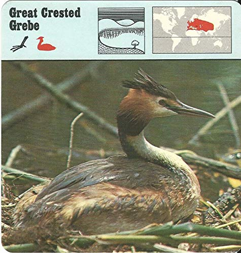 1975 Editions Rencontre, Animals Card, 19.448 Great Crested Grebe Bird