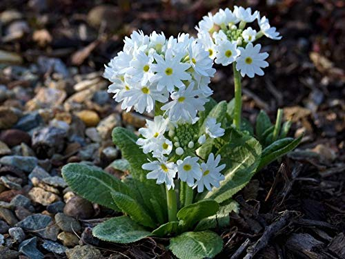 Primrose Flower Soil Snow-White winter floral wall art