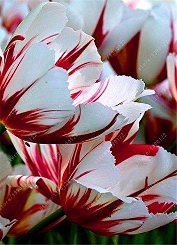 - SILKSART 15 Tulip Bulbs Perennial Bulbs for Garden Planting Beauty Flower--SHIPPING NOW!!!