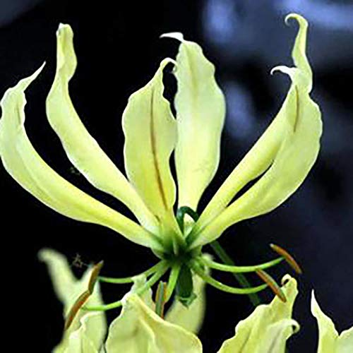(1 Bulb o fpurple Flame Lily Gloriosa National Flower of Zimbabwe)
