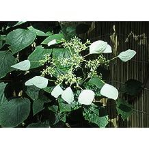 Japanese climbing hydrangea is a species of vine hydrangea .: Hydrangea anomala
