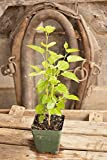 Dwarf Everbearing Mulberry: Morus nigra - Two 4 Inch Pots Tennessee Grown