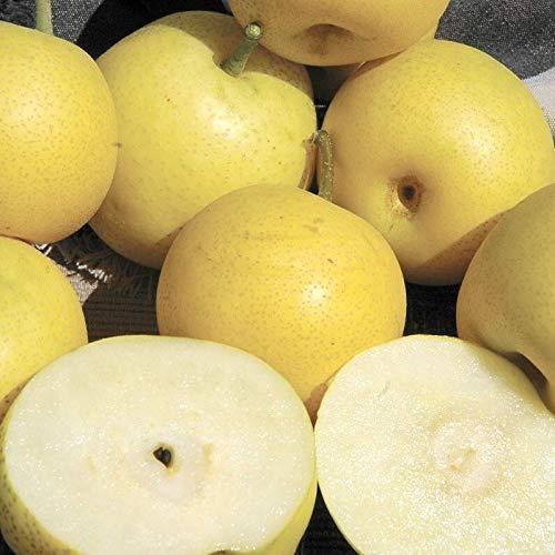 Dwarf Nijisseiki Asian Pear Tree - Sweetest Asian Pear of All!