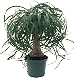 Brussel's Bonsai Live Guatemalan Red Ponytail Palm with 6'' Plastic Pot, Medium