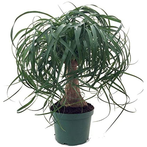 """Cheap Brussel's Bonsai Live Guatemalan Red Ponytail Palm with 6"""" Plastic Pot, Medium free shipping"""