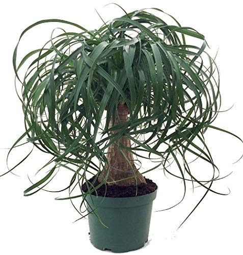 Brussel's Bonsai Live Guatemalan Red Ponytail Palm with 6'' Plastic Pot, Medium by Brussel's Bonsai