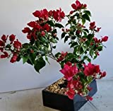 indoorbonsaiandexotics Bougainvillea bonsai tree in 8 inch pot (indoors)