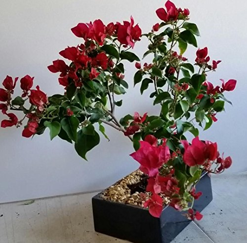 indoorbonsaiandexotics Bougainvillea bonsai tree in 8 inch pot (indoors) Bougainvillea Bonsai