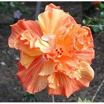 10 Double Orange Yellow Hibiscus Seeds Hardy Perennial Flower Garden Exotic : Garden & Outdoor