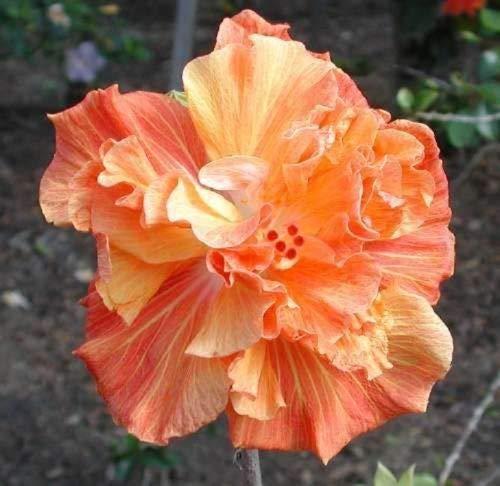 10 Double Orange Yellow Hibiscus Seeds Hardy Perennial Flower Garden Exotic