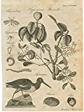 Hippomane mancinella & oystercatcher curious 1797 scarce antique print