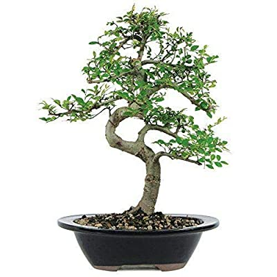 AchmadAnam - Live Plant Chinese Elm Bonsai Garden Home Plant 7 Years Old Deciduous Yard Best Gift: Garden & Outdoor