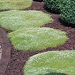 Grow Your Secret Garden Irish Moss 'P...