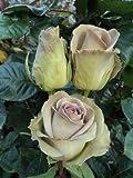 100 Fresh Lavender Roses | 50 cm. long (20'')
