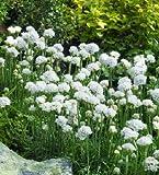 Armeria maritima Armada White 1,000 seeds
