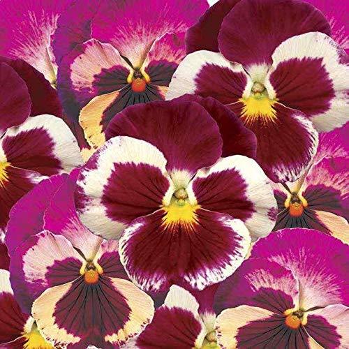 Portal Cool 24 Plantas de Fresa Pensamiento Rose Invierno y ...