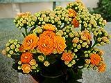 "Kalanchoe Orange Aka Kalanchoe Blossfeldiana Live Plant Fit 4"" Pot"