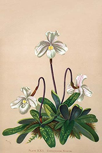 Buyenlarge 0-587-26918-9-P1218 Thai Lady Slipper Orchid; Cypripedioidea (Edition 8685)'' Paper Poster, 12'' x 18'' by Buyenlarge