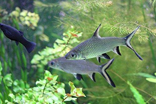 (Aquarium Plants Discounts Bala Silver Shark 2