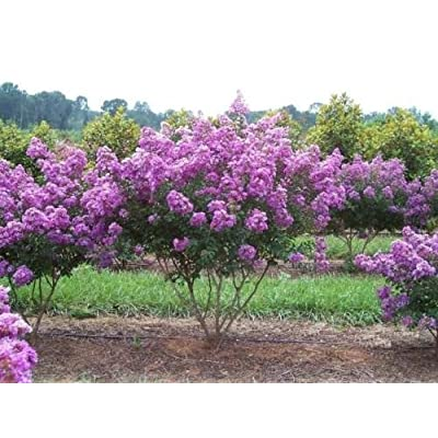 35+ LILAC CRAPE MYRTLE TREE /SHRUB /FLOWER SEEDS / DROUGHT TOLERANT PERENNIAL : Garden & Outdoor