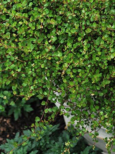 Perennial Farm Marketplace Muehlenbeckia axillaris (Creeping Wirevine) Perennial, 1 Quart, Green Leaves with Tiny White Fruit