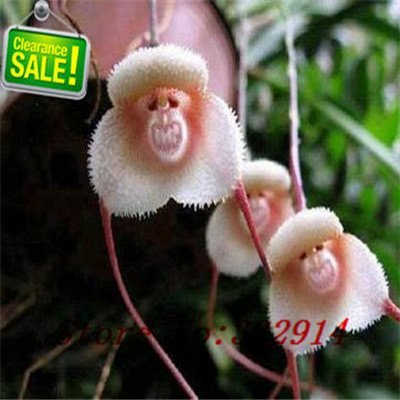free ship ``Hot `40seeds Diffenent Mixed Butterfly orchid Bonsai flowers orchid seed POT FLOWER PLANT GARDEN DIY HOME (Free Ship Orchids)