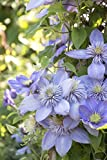 1 Starter Plant of Clematis Blue Light